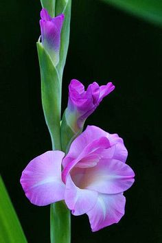 Shade Garden Flowers And Decor Ideas Gladiolus Flowers Nature, Exotic Flowers, Amazing Flowers, Fresh Flowers, Purple Flowers, Beautiful Flowers, Soft Purple, Gladiolus Bulbs, Gladiolus Flower