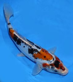 1000 images about koi fish on pinterest koi butterfly for Rare koi fish