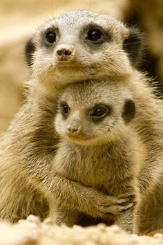 Mother meerkat clinging to her darling meerkat child