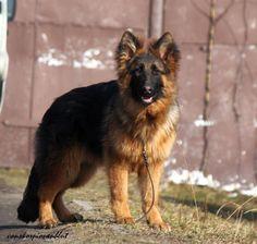 love the long coats sable and black like a bear