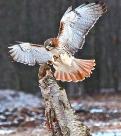 Red-tailed Hawk   Photo by Bill Wynneck on Flickr. Hell of a shot.