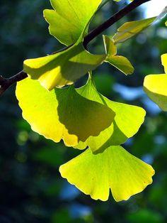 De specifieke vorm van Ginko bladeren   Foto by M Strasser