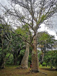 Arbore de Baobab - Gradina Botanica Nationala a Insulei Mauritius - Ce poti face in mauritius - Idei de vacanta - insula din oceanul indian - indian ocean island - island life - baobab tree Mauritius, Plants, Plant, Planets
