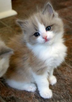Cute Fluffy Kittens, Cute Baby Cats, Cute Cats And Kittens, Cute Baby Animals, I Love Cats, Crazy Cats, Kittens Cutest, Baby Kittens For Sale, Ragdoll Kittens For Sale