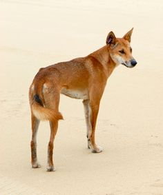 The dingo (Canis lupus dingo) arrived possibly 18,000 years ago in Australia, via China