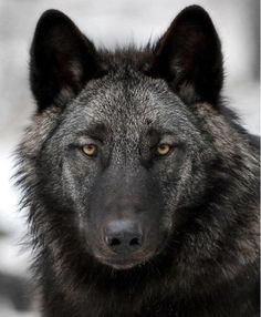 ☀black wolf