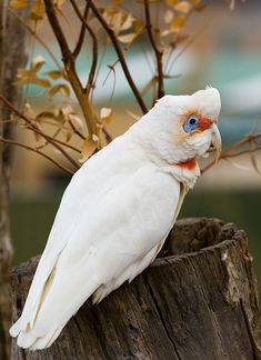 What sex is my long billed corella bird