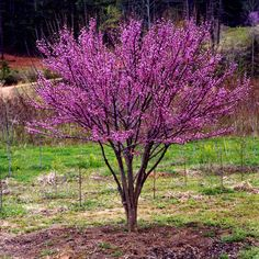 Dwarf Flowering Trees Willow Trees Weeping Willow