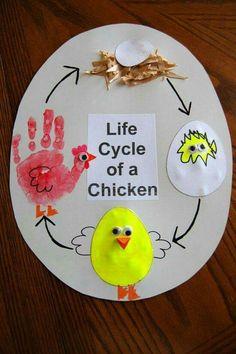 Ciclo vital de un pollito