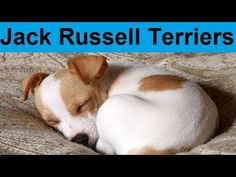 Adorable Jack Russell Terrier Puppies Compilation