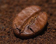 Kaffeesatz als Dünger, vor allem für Rosen, Hortensien, Rhododendron oder Engelstrompeten...