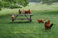 Happy and healthy free-range chickens. th