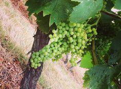 Vignes de Haute Saintonge www.guide-charente-maritime.com