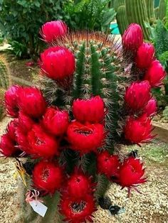 Colorful Succulents, Planting Succulents, Colorful Flowers, Planting Flowers, Unusual Flowers, Unusual Plants, Amazing Flowers, Desert Flowers, Flowers Nature