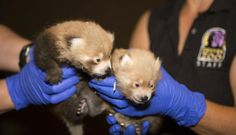 2 red panda cubs born at Denver Zoo