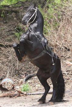 Stunning horse - Arrieta Friesians