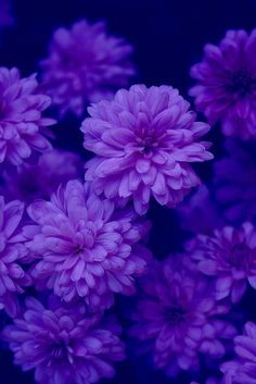 Midnights Garden indigo purple blue flowers