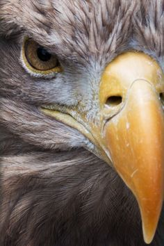 Fly like an eagle! This majestic bird is captured in stunning detail. Every single feather is distinguishable. The eagle is a symbol of power, freedom, & transcendence. Eagle Images, Eagle Pictures, Animal Pictures, Aigle Animal, Eagle Painting, Eagle Art, Watercolor Animals, Birds Of Prey, Colorful Birds