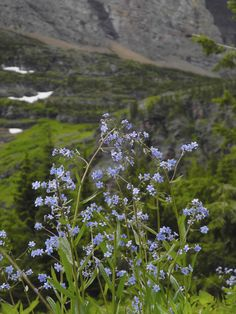 Glacier National Park // The hike to Red Rock Falls (in the Many Glacier area) is full of wildflowers in early summer!