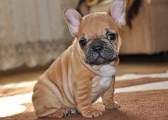 Cute French Bulldog Puppies ...........click here to find out more http://googydog.com