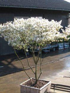 Amelanchier lamarckii   Felsenbirne   Schirmform   Pflanzen ...