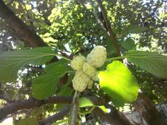 https://flic.kr/p/xFj8B6 | white mulberry