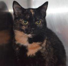 Pixie is an adoptable Tortoiseshell Cat in Woodbridge, NJ.  ...