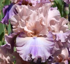 TB Iris germanica 'Sotto Voce' (Hager by DuBose, 2000)