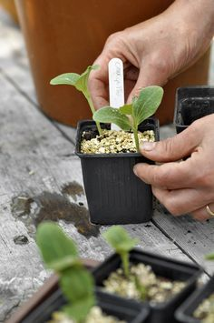 May is a period rich in events for a gardener. Take the opportunity to plant vegetables such as tomatoes, zucchini and other eggplants. Garden Online, Garden Planters, Zucchini, Herbs, Vegetables, Gardening, Planting, Eggplants, Voici