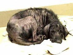 URGENT Austin, TX - Labrador Retriever Mix. Meet BLACKIE a Dog for Adoption.  Breed: Labrador Retriever Mix Color: Black Age: Adult Size: Large 61-100 lbs (28-45 kg) Sex: Male ID#: 6983792-A679026