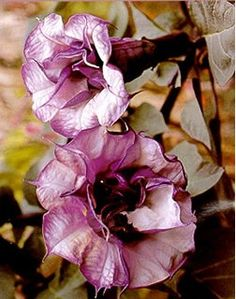 Black Angel Trumpet Datura-Gothic 10 Seeds/Seed This lilac purple variety is a favorite for planter and patios Fully double flowers enjoy frill petal edges and grow quiet rapidly in the summer Frost tender perennial Mature Height: 10 Seeds Flowers Nature, Exotic Flowers, My Flower, Beautiful Flowers, Gothic Garden, Black Angels, Trumpets, Dream Garden, Clematis