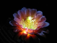Melissa Bowersock took this photo of a night-blooming plant called a flying saucer in her Oro Valley yard May Night Blooming Flowers, Blooming Plants, Oro Valley, Gothic Garden, Desert Plants, Cactus Flower, Cool Photos, Amazing Photos, Pretty Flowers