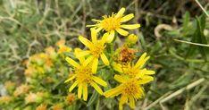 Κόνυζα: Το φυσικό φυτικό εντομοκτόνο, φυτοπροστατευτικό, φυτοπροστασία  φυτών με κόνυζα, φαρμακευτικές ιδιότητες και χρήσεις Bee Keeping, Fruit Trees, Plants, Gardening, Google, Grasses, Lawn And Garden, Plant, Planets