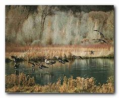Absolutely Stunning! Bring a cheer of nature into your home with this landscape art print poster. This poster captures the image of timeless beauty of Canadian geese flying upon the lake and the beautiful plants all around the lake looks very eye catchy which is sure to grab lot of attention. This poster adds a unique beautiful touch to your walls. Easy to maintain and ensures high quality with a perfect color accuracy.