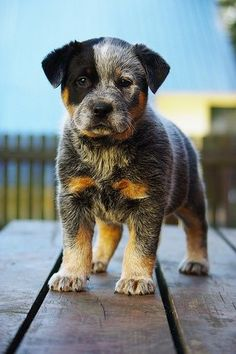 Australian Cattle Dog pup. I like medium size dogs. This breed can go the distance