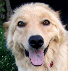 Cole is a one year old male golden retriever/great Pyrenees mix dog. At 60 pounds, he's not that big, but he is certainly on the fluffy side. Cole is a very sweet, very friendly dog who loves his people. He is great with other dogs and has shown no interest in cats. He is afraid of kids and would do best in a home with no children under 14. Basically, this dog is afraid of short screech people and most kids will at some point screech (Dakota Fanning apparently notwithstanding).