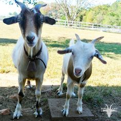 """""""Good Wednesday morning everyone!"""" <3 Mama Trout and Baby Fry . #humpday #faintinggoats #GatherDiscoverCelebrate"""