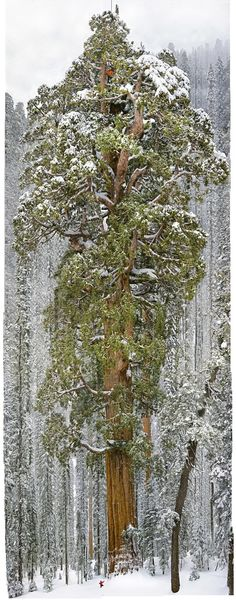 """Nicknamed """"The President,"""" for its massive size, this sequoia reaches 247 feet into the air, is 45,000 cubic feet in volume, and is estimated to be roughly 3,200 years old."""