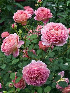 'Jubilee Celebration'| David Austin English Rose. Austin, 2002. | © Oliver