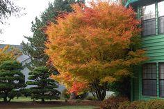 Acer palmatum (Japanese Maple) 'Sango Kaku'
