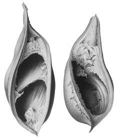 Blackbean Seed Pods by Susannah Blaxill