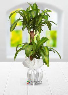 2 köklü Dracena Massengena saksı çiçeği ofis ve ev ortamında bakılmak için ideal bir bitkidir.Dracena Massengena saksı çiçeği sizin en sadık arkadaşınız olacak gelin bu en sadık arkadaşı kendiniz ve sevdikleriniz için cicekhediyemarket.com kalitesi ile siparişinizi verin. cicekhadiyemarket.com