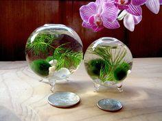 VERKAUF! Zen. Nano. Reichsapfel. Marimo-Ball. Ecosphere.Terrarium