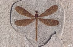 Many species of insects are found in the Green River Formation including dragonflies. The wetland margins of Fossil Lake provided ideal breeding and foraging opportunities. View more Green River insect fossils. National Park Service - Fossil Butte National Monument photograph.