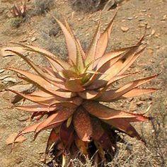 Exótica planta de jardín de semillas de cactus de Aloe khamiesensis suculenta rara agave 30 SEMILLAS
