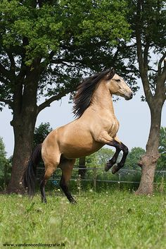 IMG_9438 by amable, via Flickr Most Beautiful Animals, Beautiful Horses, Majestic Horse, Appaloosa, Buckskin Horses, Dun Horse, Palomino, Donkeys, All The Pretty Horses