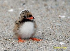 Baby puffin (puffling)