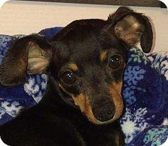 Doylestown, PA - Miniature Pinscher Mix. Meet Sansa, a dog for adoption. http://www.adoptapet.com/pet/12889293-doylestown-pennsylvania-miniature-pinscher-mix