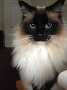 Beautiful Male Pedigree Ragdoll Cat for Sale | Bishops Stortford ...