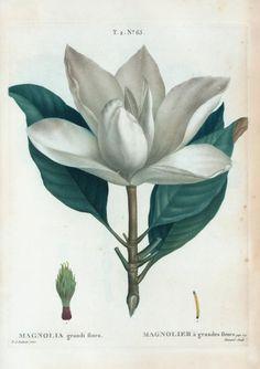 Magnolia grandi flora = Magnolier a grandes fleurs. Traité des arbres et arbustes que l'on cultive en France en pleine terre / par Duhamel Illustrated - Redoute